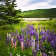 Purple and pink garden lupin flowers — Stock Photo