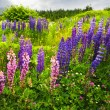 Newfoundland landscape with lupin flowers - Stock Photo