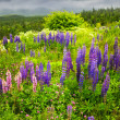 Purple and pink garden lupin flowers — Stock Photo #4482580