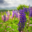 Purple and pink garden lupin flowers - 图库照片