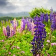 Purple and pink garden lupin flowers — Stock Photo #4482585