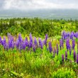 Purple and pink garden lupin flowers - Foto de Stock