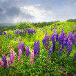 Purple and pink garden lupin flowers - Stockfoto