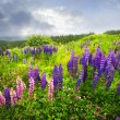 Purple and pink garden lupin flowers - Photo