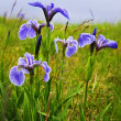 Blue flag iris flowers — Stock Photo