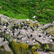Puffins on rocks in Newfoundland - Stock Photo
