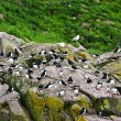 Puffins on rocks in Newfoundland — Stock Photo