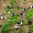 Puffins nesting in Newfoundland — Stock Photo