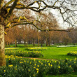 Daffodils in St. James's Park — Stock Photo #4482824