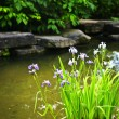 Purple irises in pond — Stock Photo