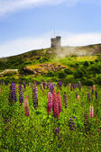 Garden lupin flowers at Signal Hill — Stock Photo