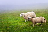 Sheep in Newfoundland — Stock Photo