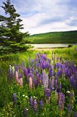 Purple and pink garden lupin flowers — Photo
