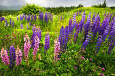 Newfoundland landscape with lupin flowers — Stock Photo