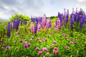 Purple and pink wildflowers — Foto de Stock