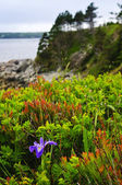 Blue flag iris flower at Atlantic coast — Stock Photo