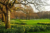 Daffodils in St. James's Park — Stock Photo
