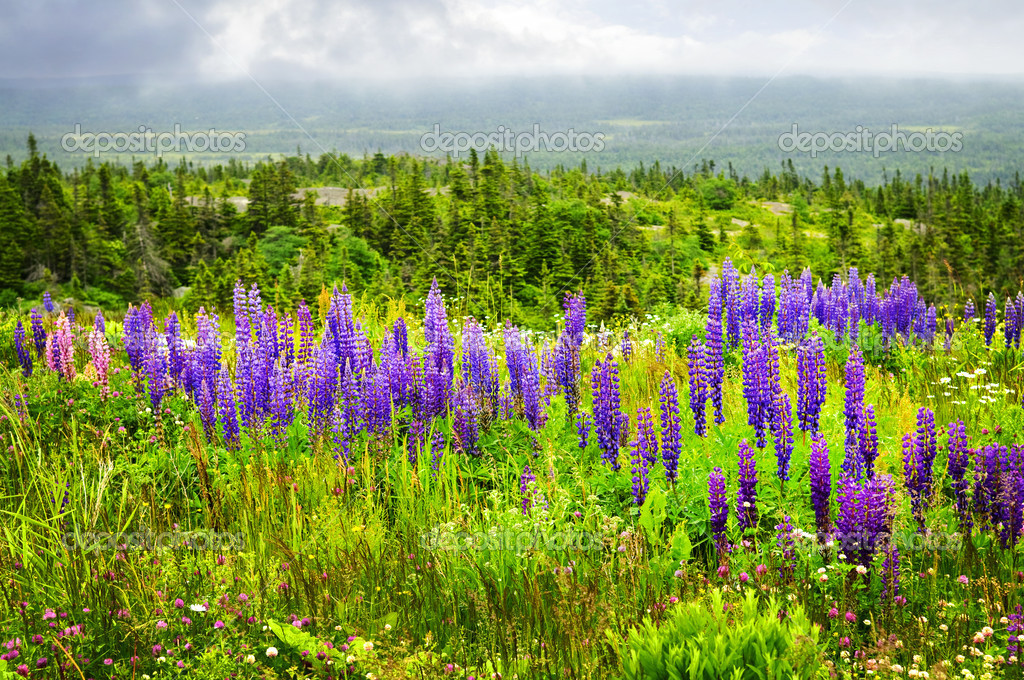 Purple and pink garden lupin wild flowers in Newfoundland — Stock Photo #4482596