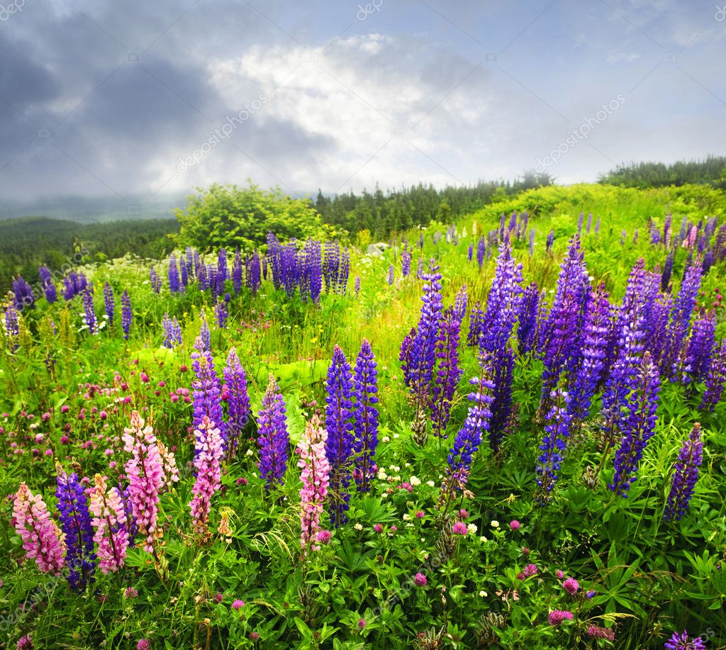 Purple and pink garden lupin wild flowers in Newfoundland  Stock Photo #4482597