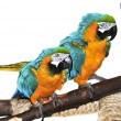 Blue and yellow Macaw - Stockfoto
