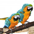 Blue and yellow Macaw - Stok fotoğraf