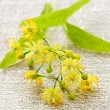 Linden flower - Stock Photo