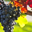 Red grapes — Stock Photo #4495185