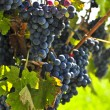 Red grapes — Stock Photo #4495215