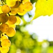 Yellow grapes — Stock Photo #4495244