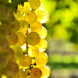 Yellow grapes - Stock Photo
