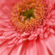 Royalty-Free Stock Photo: Gerbera flower