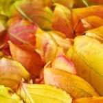 Autumn leaves background — Stock Photo #4495535