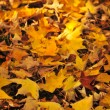 Fall maple leaves — Lizenzfreies Foto