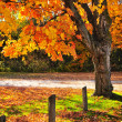 Stock Photo: Autumn maple tree near road