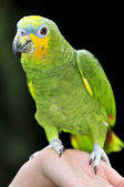 Yellow-shouldered Amazon parrot — Stock Photo