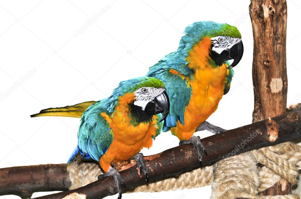 Pair of blue and yellow macaw parrots on branch — Stock Photo #4494536