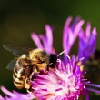 honey bee on knapweed — Stock Photo