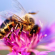Honey bee on Knapweed — Foto Stock