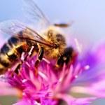 Honey bee on Knapweed — Stock Photo