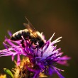 Honey bee on Knapweed - Stock Photo