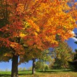 Autumn maple tree - Stock Photo