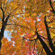 Autumn maple trees — Stock Photo