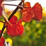 Closeup of vine leaves — Stock Photo #4519971