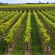 Vineyard - Stockfoto