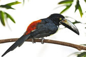 Collared Aracari toucan — Stock Photo