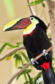 Chestnut Mandibled Toucan — Stock Photo