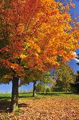 Jesień klon drzewo — Zdjęcie stockowe