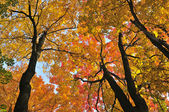 Herfst maple bomen — Stockfoto