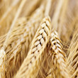 Wheat ears — Stock Photo #4520040