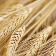 Wheat ears — Stock Photo #4520043